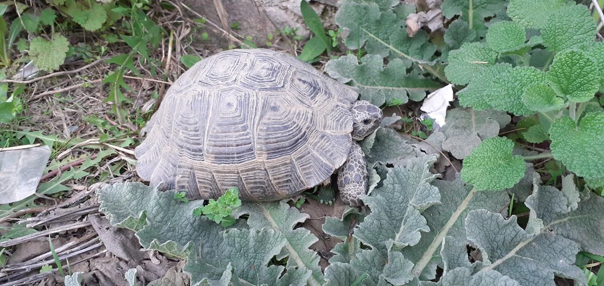 Kaplumbağalar Kış Uykusundan Uyandı